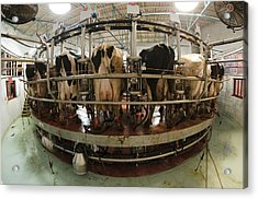 Automatic Milking Machine Acrylic Print by Photostock-israel