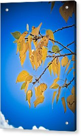 Autumn Aspen Leaves And Blue Sky Acrylic Print by James BO  Insogna