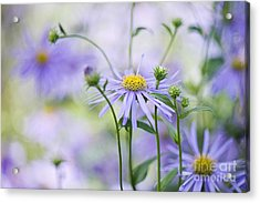 Autumn Asters Acrylic Print by Jacky Parker