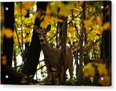 Autumn Doe Acrylic Print by Scott Hovind