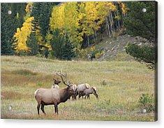 Autumn Elk Acrylic Print