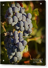 Autumn Grapes On A Vineyard Branch In The Fields At A Winery In  Acrylic Print by ELITE IMAGE photography By Chad McDermott