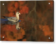 Autumn Gull Acrylic Print by Karol Livote