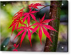 Autumn Japanese Maple Acrylic Print by Ken Stanback