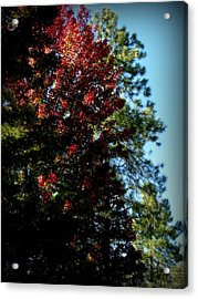 Autumn Maple And Ponderosa Pines Acrylic Print by Aaron Burrows