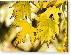 Autumn Maple Leaves Acrylic Print by James BO  Insogna