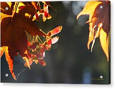 Autumn Maple Acrylic Print by Mick Anderson