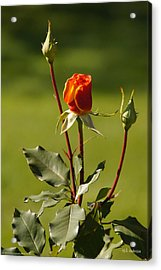 Autumn Rose Acrylic Print by Mick Anderson