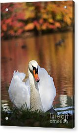 Autumn Swan Acrylic Print by Leslie Leda