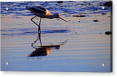Avocet In The Dim Light Acrylic Print by Catherine Natalia  Roche