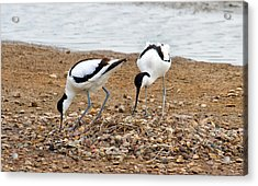 Avocets At Nest Acrylic Print