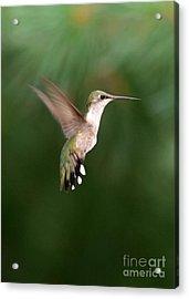 Awesome Hummingbird Acrylic Print by Sabrina L Ryan
