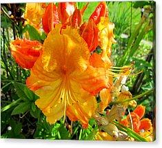 Azalea Flower  Acrylic Print by Joyce Woodhouse
