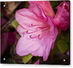 Azalea Up Close And Personal Acrylic Print by Michael Putnam