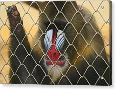 Acrylic Print featuring the photograph Baboon Behind Bars by Kym Backland