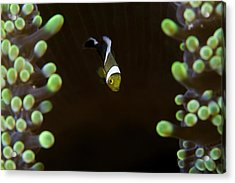 Baby Anemon-fish Acrylic Print by Nature, underwater and art photos. www.Narchuk.com