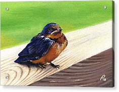 Baby Barn Swallow Acrylic Print by Peggy Dreher