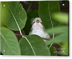 Acrylic Print featuring the photograph Baby Bird Peeping In The Bushes by Jeannette Hunt