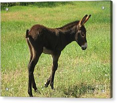 Acrylic Print featuring the photograph Baby Burro Named Romper by Ann Johndro-Collins