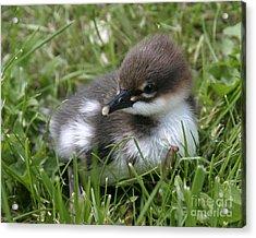 Baby Common Merganser II Acrylic Print