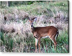 Acrylic Print featuring the photograph Baby Deer At Viera by Jeanne Andrews