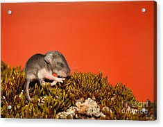 Baby Deer Mouse On Moss Acrylic Print by Max Allen