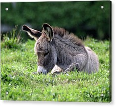 Baby Donkey Acrylic Print by Deborah  Smith
