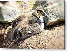 Baby Duckies  Acrylic Print by Saija  Lehtonen