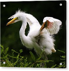 Baby Egret Wings Acrylic Print by Paulette Thomas