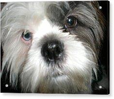 Baby Face Dog Acrylic Print