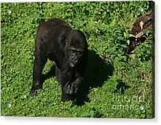 Baby Gorilla Find Own Feet Acrylic Print by Carol Wright