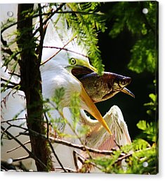 Baby Great White Egret With Lunch Acrylic Print by Paulette Thomas