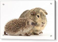 Baby Hedgehog And Guinea Pig Acrylic Print