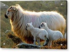 Acrylic Print featuring the photograph Baby-lambs by Barbara Walsh