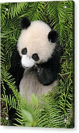 Acrylic Print featuring the photograph Baby Panda In Ferns by Craig Lovell