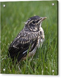 Acrylic Print featuring the photograph Baby Robin by John Crothers