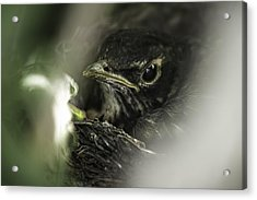 Acrylic Print featuring the photograph Baby Robin by Tom Gort