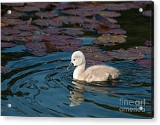 Baby Swan Acrylic Print by Andrew  Michael