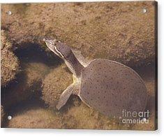 Baby Turtle Acrylic Print