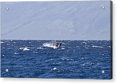 Baby Whale Breach Acrylic Print by Chris Ann Wiggins