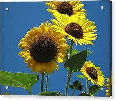 Back Bay Sunflowers Acrylic Print by Bruce Carpenter