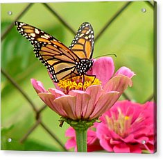 Back Yard Butterfly Acrylic Print