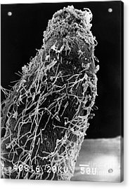 Bacteria On Sorghum Root Tip Acrylic Print by Science Source