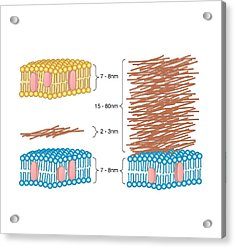 Bacterial Cell Wall Comparison, Artwork Acrylic Print by Peter Gardiner