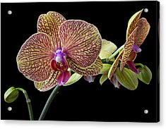 Baeutiful Orchids Acrylic Print by Garry Gay