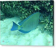 Bahamas Blue Tang Acrylic Print by Kimberly Perry