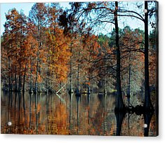 Bald Cypress In Autumn Acrylic Print