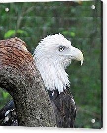 Bald Eagle Acrylic Print by Bill Hosford