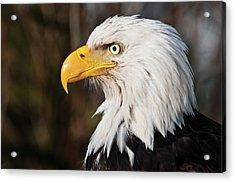 Bald Eagle Acrylic Print by Chad Graham