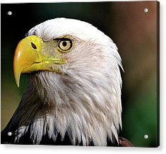 Bald Eagle Close Up Acrylic Print